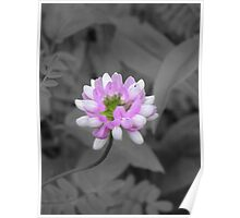 Crown Vetch (selective coloring) Poster