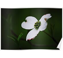 Dogwood Tree Blossom Poster