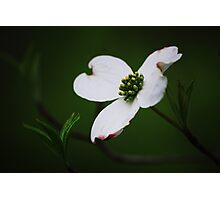 Dogwood Tree Blossom Photographic Print