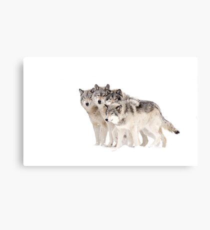 The Pack - Timber wolves Canvas Print