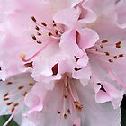 Rhododendron by AnnDixon