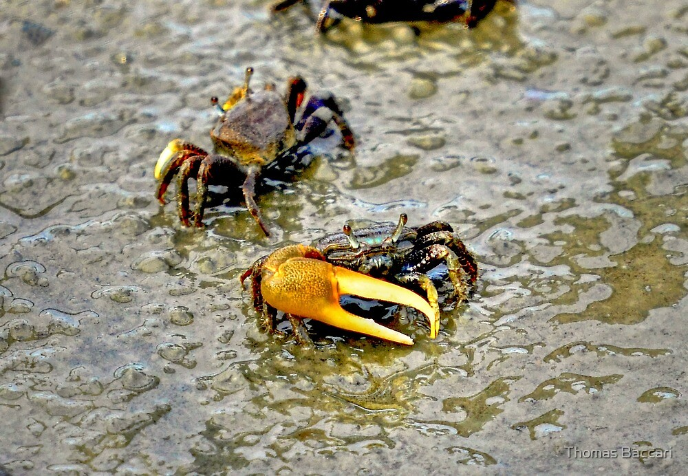 A Fiddler Crab by TJ Baccari Photography