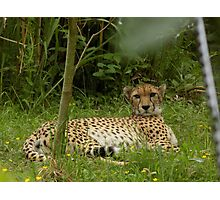 Chester Zoo Cheetah Photographic Print