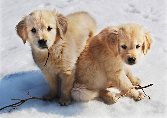 Golden Retriever Puppies First Winter #3 by Laurie Minor