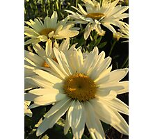 Daisies at Sunset Photographic Print