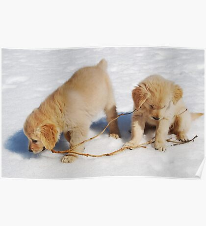 Golden Retriever Puppies First Winter #2 Poster