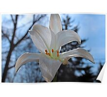 Peace Lily Poster