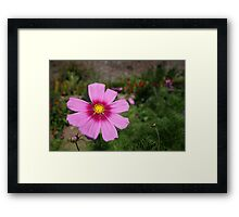 Cosmos flower, close up Framed Print