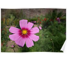 Cosmos flower, close up Poster