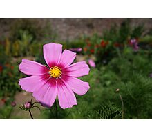 Cosmos flower, close up Photographic Print