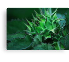 Sunflower Bud Canvas Print