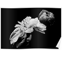 Peonies - After The Rain Poster