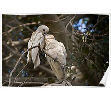 Pair of Little Corellas (Cacatua sanguinea) Poster