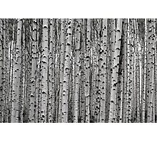 Aspen In Black And White Photographic Print