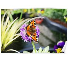 Butterfly in primula denticulate flower Poster