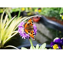 Butterfly on Primula Denticulata Flower Photographic Print