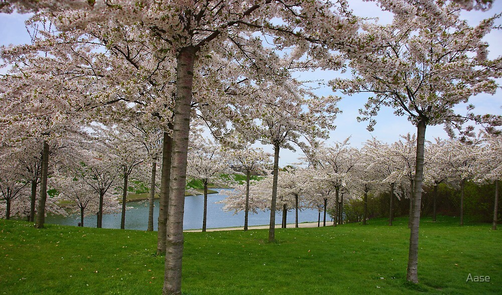 Cherry Trees by Aase