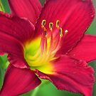 Red Hot Lily by lorilee