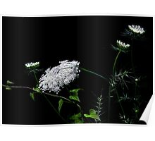 """""""Queen Anne's Lace"""" Poster"""