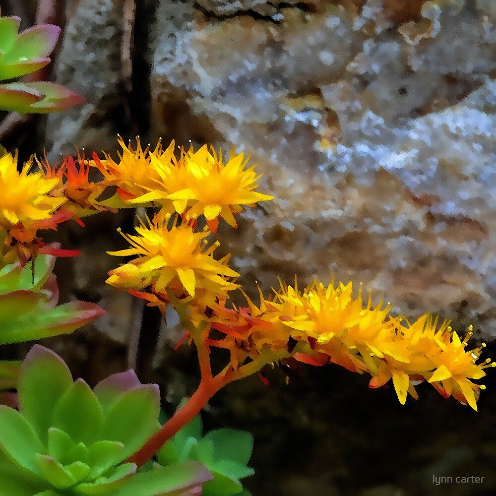 Like Golden Stars.......... by lynn carter