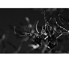 Aspen Leaves In B and W Photographic Print