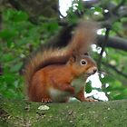 Red Squirrel by wiggyofipswich
