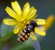 Hover-fly or Mimic Bee............. by lynn carter