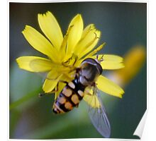 Hover-fly or Mimic Bee............. Poster