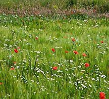A barley field by John (Mike)  Dobson