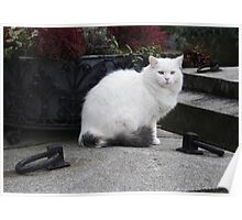 Hairy White Cat Poster