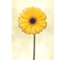 Yellow Gerbera Flower Photographic Print