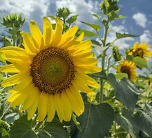 Summer Sunflowers by Susan Nixon