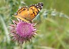 Butterfly on Musk Thistle by elasita
