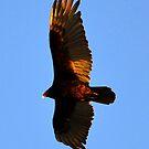 Turkey Vulture by David Lee Thompson