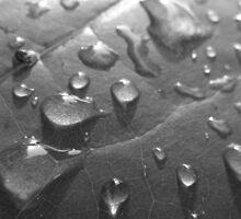 Wet Leaf BW by elasita