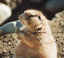 Munching Prairie Dog by Mary Ellen Tuite Photography