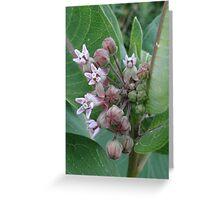 Swamp Milkweed Greeting Card