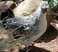Farm talk - Missy, the Hen by Maree  Clarkson