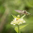 Ruby Throated Hummingbird 2016-5 by Thomas Young