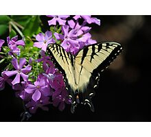Tiger Swallowtail Butterfly on Garden Phlox Photographic Print