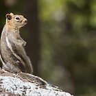 Squirrel stripes by Anthony Brewer