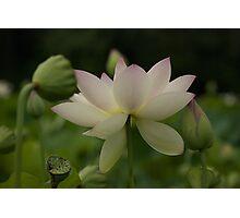 lotsa lotus Photographic Print