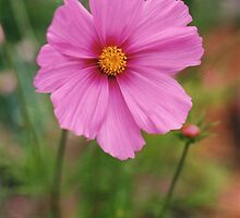 Lavender Cosmos by Mary Ellen Tuite Photography