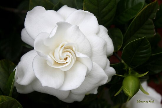 Romantic Night ~ Scent of Gardenias by SummerJade