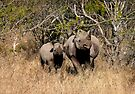 Black Rhino and baby, South Africa by Margaret  Hyde