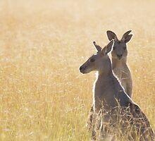 Grey Kangaroos by Nicholas Morris