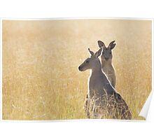 Grey Kangaroos Poster