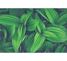 Corn Lily Photographic Print