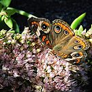 Buckeye Butterfly on Sedum by Sharon Woerner