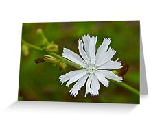 White Chicory  Rare Color Phase   Cichorium intybus Greeting Card